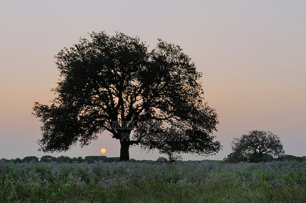 Live Oak (Quercus virginiana), trees at sunrise, Dinero, Lake Corpus Christi, South Texas, USA