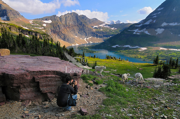 Mountain Goat (Oreamnos americanus) and photographer on Hidden Lake Trail..  Glacier National Park, Montana.  Summer.