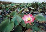 Lotus, Volga Delta, Caspian Sea, Russia