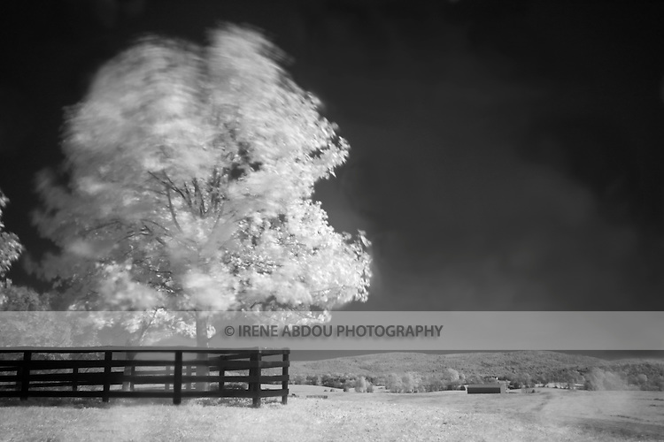 Infrared photograph of a tree blowing in the wind at Historic Long Branch in Millwood, Virginia.<br /> <br /> ARTIST'S STATEMENT:<br /> <br /> Through infrared photography, I explore a different world - a world where grass is white, where skies are black... where rays of light reflect in unexpected ways that I cannot anticipate. I am near-blind, I cannot see. Except for my camera before me, I must trust in its vision. I wait in anticipation for it to show me this strange world of infrared. And when finally revealed, I revel in the glory of this alternative reality.<br /> <br /> All cameras have an internal filter that blocks most, if not all, infrared light from passing through it. Because the infrared blocking filter in my camera still allows a very small amount of infrared light to trickle through, I am able to do infrared photography by placing a filter on my camera lens that blocks all visible light. Thus, the camera can still make use of the trickle of infrared allowed through. Because so little light enters the camera, I use a tripod and set very long exposures, up to 10 minutes in length. The advantage of working this way is that the long exposures allow me to creatively capture the movement of my subjects - such as trees and grass blowing in the wind. I love the resulting effect, as well as the alternative reality of infrared.