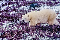 A Polar Bear, near Churchill, Canada, paces the shores of Hudson Bay waiting for the sea ice to freeze for the winter so it can begin the hunt for seals.