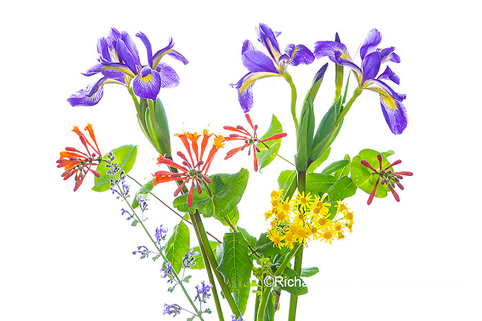30099-00804 Blue Flag Iris, Dropmore Scarlet Honeysuckle, Russian Sage & Butterweed (high key white background) Marion Co. IL