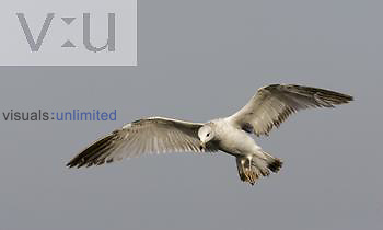 Ring-billed Gull ,Larus delawarensis, in flight.