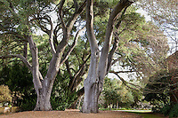 Large mature Live Oak trees (Quercus agrifolia) in California estate garden, Filoli