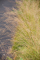 Yellow fall, autumn color of fragrant Prairie dropseed grass (Sporobolus heterolepis) Wisconsin front yard meadow garden