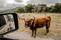 A Highland Cow stands by the roadside  at on the Ox Ranch, Uvalde, Texas, USA. <br /> Photo Daniel Berehulak for the New York Times