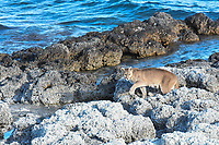 The sun's first rays illuminate a Puma along the shore of Lake Sarmiento, Torres Del Paine, Patagonia, Chile.