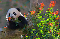 Baby Giant Panda with flowers.