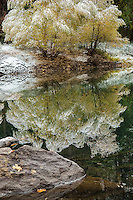 Yosemite National Park, CA: Two willows weighted by a fresh snowfall in fall reflected in the Merced River