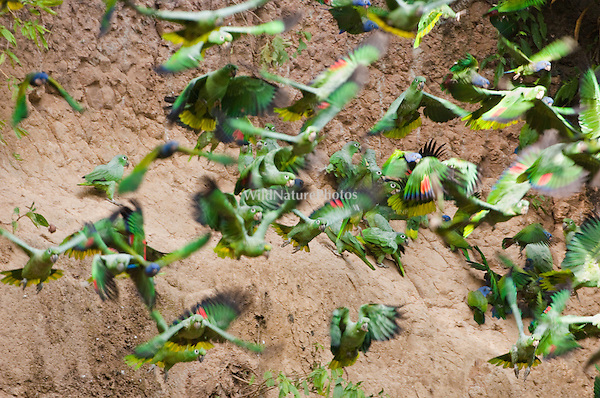 Mealy Amazon, Amazona farinosa, in flight. Parrot Lick, Napo Wildlife Center,