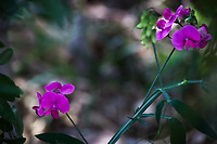 Purple flowers on long green stems, presumably wild sweet pea, on a shaded portion of a path along Clear Creek in Golden, Colorado.