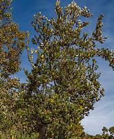 Banksia integrifolia; Australian shrub Wild Ridge Organics