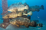 Epinephelus itajara, Goliath grouper, Jupiter, Florida