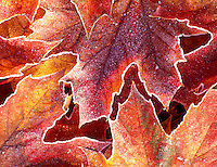 V00089M.tif   Big Leaf Maple leaves with frost. Near Monroe, Oregon