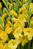 Gladiolus 'Lemon Drop' (yellow)