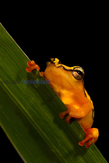 Arrowhead Reed Frog (Hyperolius argus). Captive
