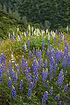 Purple and white lupine along the highway and chaparral, Hell Hollow, Merced River Canyon, Calif.