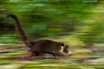 White-nosed Coati (Nasua narica) female running, Osa Peninsula, Costa Rica