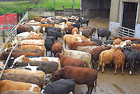 Suckler cows housed for the winter.