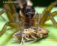 LC02-019a  Wolf spider face and eyes, eating planthopper prey,  Pardosa spp.
