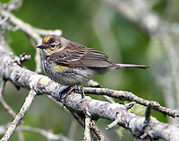 Yellow-rumped warbler, myrtle type