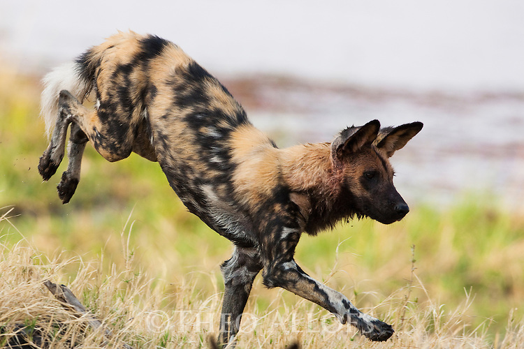 Botswana, Okavango Delta, Moremi Game Reserve, African wild dog (painted wolf, painted dog) (Lycaon pictus ) jumping, African wild dogs are highly endangered animals