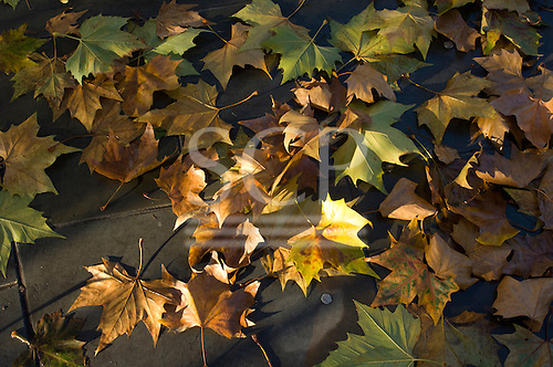 London, England. Sycamore (London Plane Tree) leaves in autumn dappled sunshine.