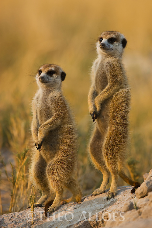 Meerkat, Suricate (Suricata suricatta), sentinels looking out for predators, Botswana, Kalahari, Makgadikgadi Pans National Park