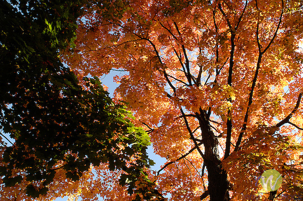 Autumn view looking up at maple tree.