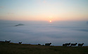 08/09/15<br /> <br /> ***WITH VIDEO***<br /> <br /> Sheep at the summit of Mam Tor at dawn as a cloud inversion shrouds the lower lying land of the Derbyshire Peak District with mist near Edale.<br /> <br /> All Rights Reserved: F Stop Press Ltd. +44(0)1335 418629   www.fstoppress.com.