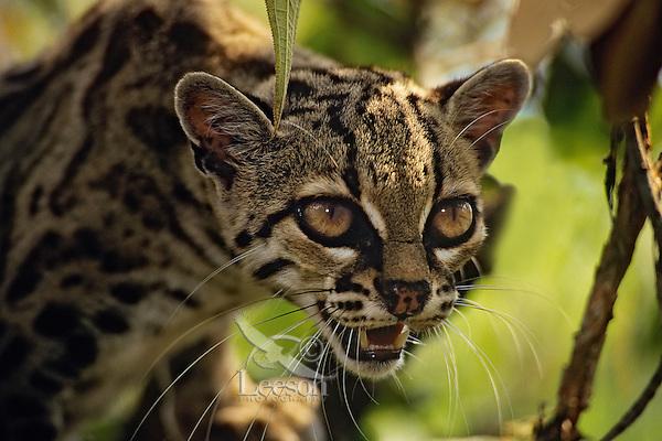 Margay (Leopardus wiedii) Central America.