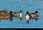 Northern Pintails and Mallards, Bosque del Apache Wildlife Refuge, New Mexico