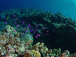 Siaes Tunnel, Palau -- Purple anthias frolicking in the afternoon sun.