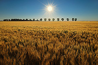 WHeat crop and sunrise<br /> STarbuck<br /> Manitoba<br /> Canada