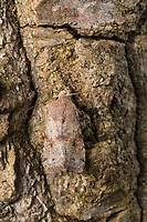 Variable Kätzcheneule, Violettgraue Frühlingseule, Orthosia incerta, Monima incerta, Taeniocampa incerta, Clouded Drab, L'Orthosie variable, Eulenfalter, Noctuidae, noctuid moths, noctuid moth