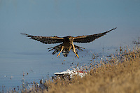 Northern Harrier (Circus cyaneus) adult hunting, Bosque del Apache National Wildlife Refuge , New Mexico, USA