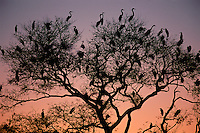 Great white Egrets at sunset, Egretta alba, Pantanal, Brazil
