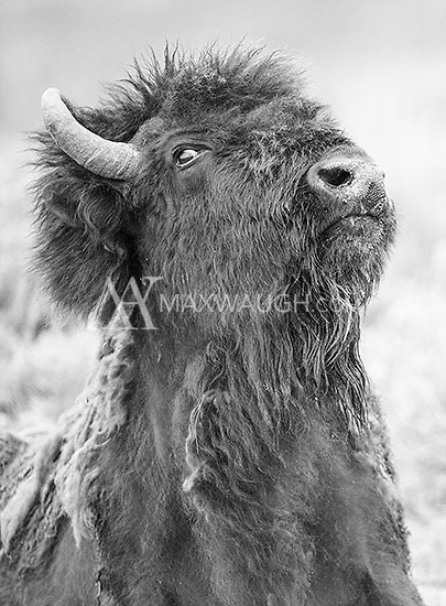 A rowdy bison cow, which kept bobbing its head.<br /> <br /> This image is also available in color.