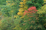 Red maple (Acer rubrum) beginning to turn color, fall, Eno River State Park, North Carolina