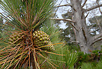 Monterey pine and cones.  Del Monte Forest