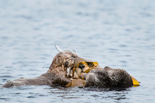 Southern Sea Otter (Enhydra lutris nereis) mother with young, playful pup.  Central California Coast.  Mother is wrapped in kelp to help keep her from drifting off with the tide/wind/current whiles she rests.