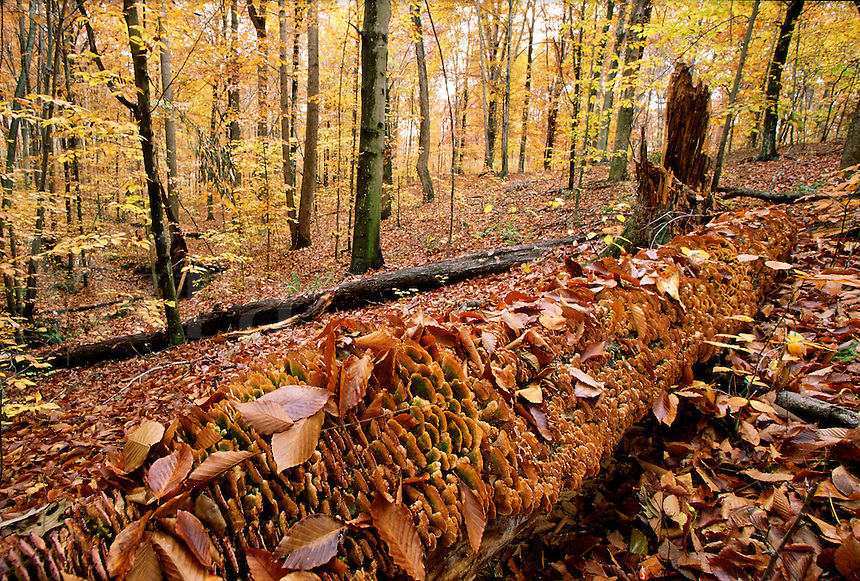 Dead tree covered with orange fungus, surrounded by autumn leaves, black-trunked trees, beech #5485. Virginia.