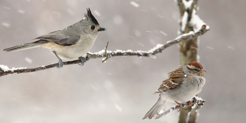 Black-crested Titmouse & Chipping Sparrow in heavy snowfall.