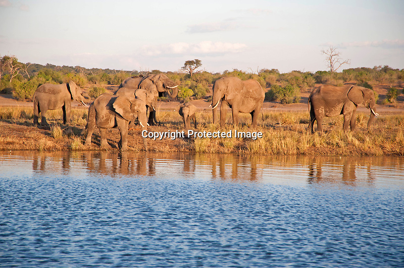 Elephant Family at River in Chobe National Park in Botswana, Africa