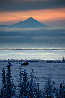 A moose grazes in a field near Cook Inlet as the sun sets behind Alaska's Mount Iliamna.