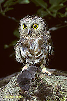 OW04-002z   Saw-whet owl - with shrew prey - Aegolius acadicus