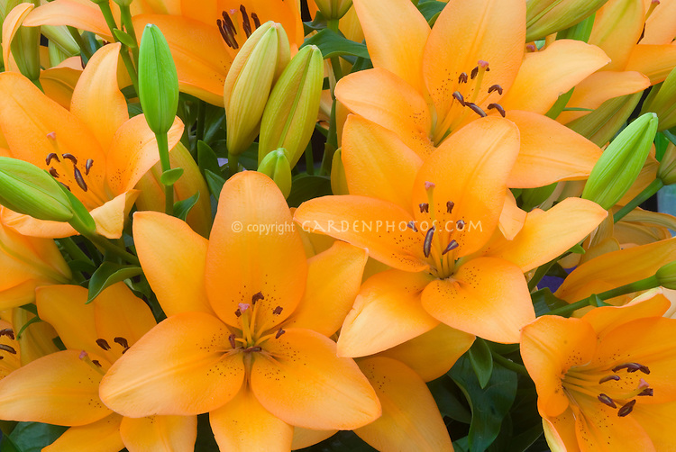 stock images of lilies lilium lily flowers  images  plant, Natural flower