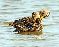 Mottled duck pair preening, male with yellow bill, female with orange bill