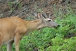 A white tail buck outside eating foliage.