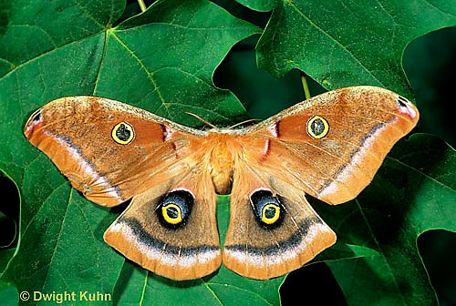LE41-015a  Polyphemus Moth - adult female, note antennae - Antheraea polyphemus